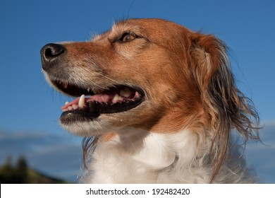 portrait of a red haired collie type dog