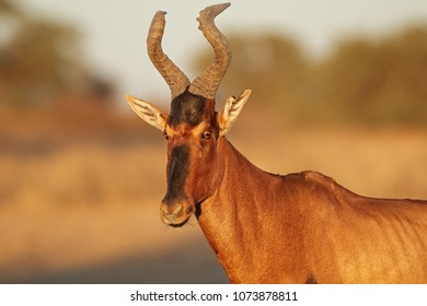 Portrait of a red hartebeest (Alcelaphus buselaphus), Kalahari desert, South Africa