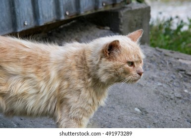 portrait of a red homeless cat