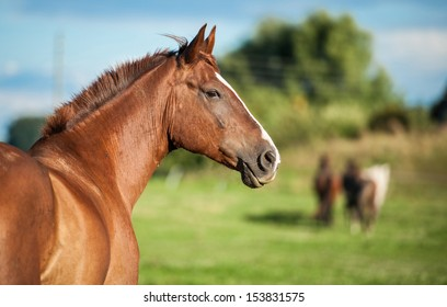 Portrait of red horse on the pasture