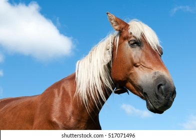 Portrait of a red horse with white mane