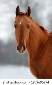 portrait red horse in winter