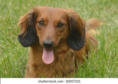 Portrait of Red Long-Haired Dachshund Lying on the Grass