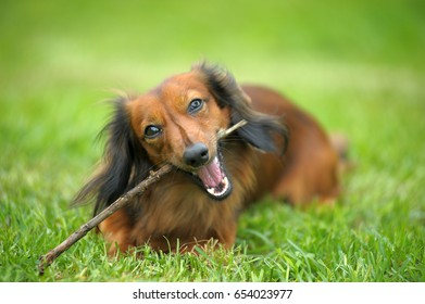 Portrait of Red Long-Haired Dachshund on the Grass.