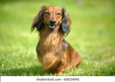 long hair dachshund images stock photos vectors shutterstock