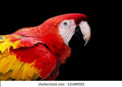 Portrait of a red macaw parrot with a black background