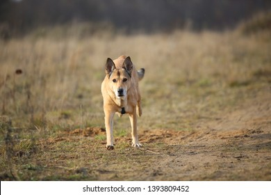 Portrait of red mixed breed dog running forward in a filed looking at camera. Yellow, green, grass and background . Copy space