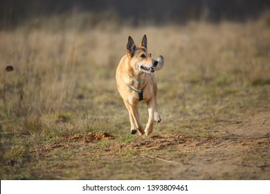 Portrait of red mixed breed dog running forward in a filed looking aside. Yellow, green, grass and background . Copy space