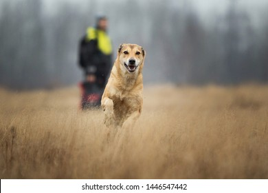 Portrait of red mixed breed dog running forward in a filed looking at camera. Yellow, grass and background . Copy space