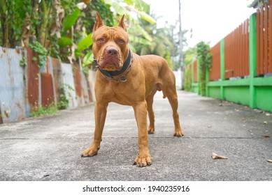 Portrait of red nose American pitbull terrier outdoors.