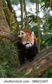 Portrait of a Red Panda.