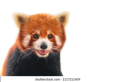 Portrait of a Red Panda ( Ailurus fulgens ), Firefox or Lesser Panda. Isolated on white
