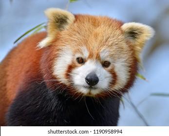 Portrait of red panda (Ailurus fulgens) on blue sky background