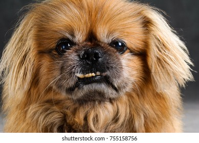 Portrait of red pekingese of pure breed in a studio