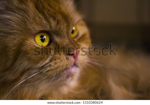 Portrait of a red Persian cat, with big yellow eyes. Close up.