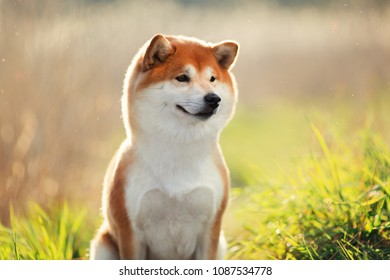 portrait of a red Shiba inu dog in summer at in the setting sun