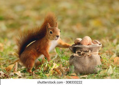 Portrait of a red squirrel holding a bag with nuts