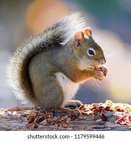 Portrait of Red Squirrel standing on log, feeding seeds from pine cone.
