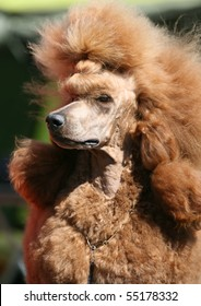 Portrait of a red Standard Poodle