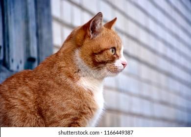 Portrait, red striped cat close-up. Cat looks forward, sits sideways.