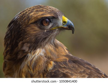Portrait of a Red Tailed Hawk (Buteo jamaicensis)