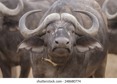 Portrait - Red-billed oxpecker and African Buffalo (Buphagus ery