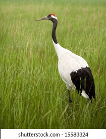 portrait of red-crowned crane.