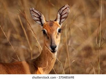 Portrait of reddish-brown antelope Kobus kob thomasi -- Uganda kob, female with big veiny ears, staring directly at camera. Dry brown blurred grass in background, young female, nice eyes. Uganda.
