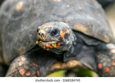 Portrait of a Red-footed tortoise.