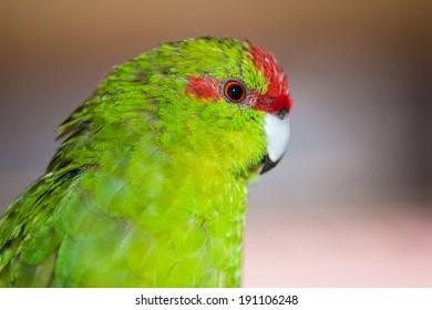 Portrait of Red-fronted parakeet or Cyanoramphus novaezelandiae