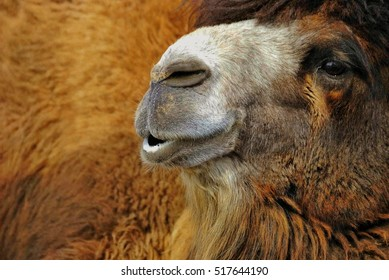Portrait of red-haired camel
