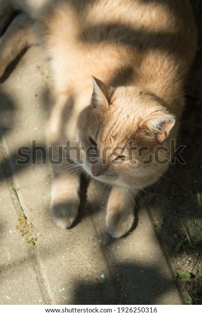 portrait-redhaired-shorthair-street-cat-