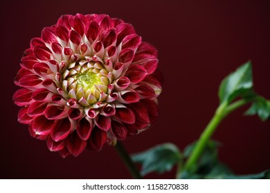 Portrait of red-white dahlia flower on the bordeaux-red background. Macro photography of nature.