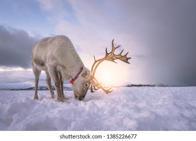 Portrait of a reindeer with massive antlers digging in snow in search of food, Tromso region, Northern Norway