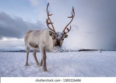 Portrait of a reindeer with massive antlers pulling sleigh in snow, Tromso region, Northern Norway