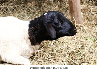 portrait of relaxing black sheep