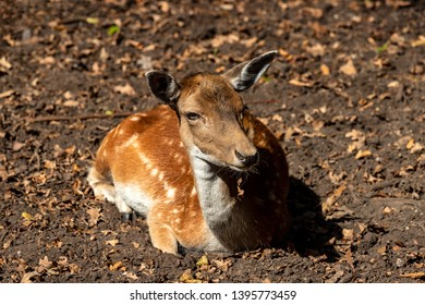 Portrait of relaxing female adult fallow deer (dama dama) in the forest. Photography of lively nature and wildlife.