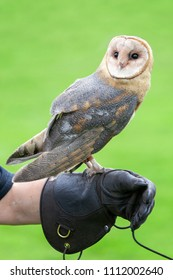 Portrait of a rescued barn owl perched on a leather falconry glove