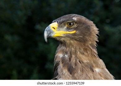 Portrait of a rescued Russian Steppe Eagle