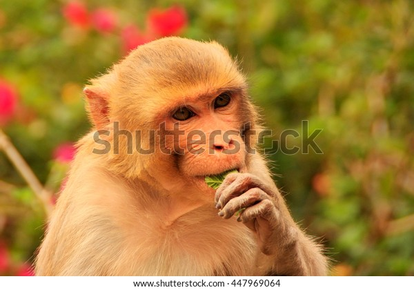 Portrait of Rhesus macaque (Macaca mulatta) eating in Galta Temple in Jaipur, India. The temple is famous for large troop of monkeys who live here.