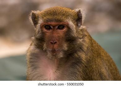 Portrait of a Rhesus Monkey (Rhesus Macaque) at an island of the Lan Ha Bay in Vietnam