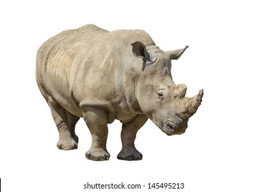 portrait of a rhinoceros isolated on white background with copy space for your text