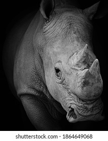portrait of a rhinoceros at a zoo