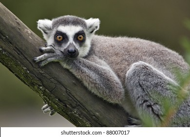Portrait of ring tailed lemur