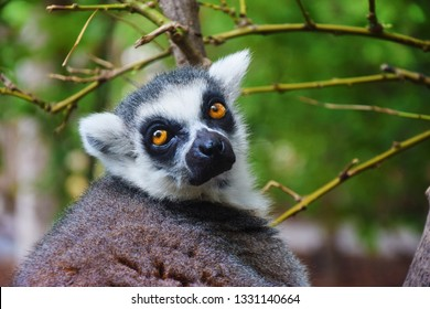 Portrait of a ring tailed Lemur from Madagascar.