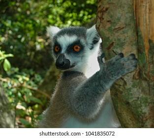 Portrait of ring-tailed lemur (Lemur catta)