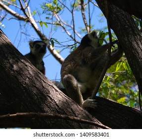 Portrait of the ring-tailed lemur Lemur catta aka King Julien in Anja Community Reserve ,Manambolo, Ambalavao, Madagascar