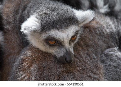 Portrait of Ring-tailed lemur (Lemur catta). Lemurs are listed as endangered species and endemic to African island of Madagascar. Close-up.