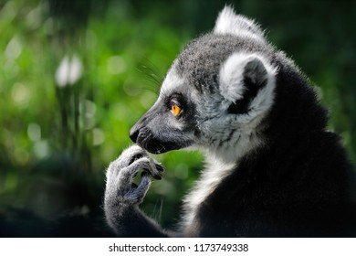 Portrait of ring-tailed lemur (catta) on the green background. Photography of nature and wildlife.