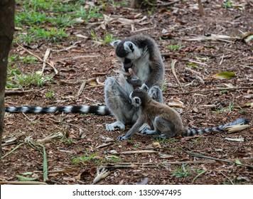 Portrait of the ring-tailed lemur family Lemur catta aka King Julien in Lemirs Park at Arivonimamo, Antananarivo, Madagascar
